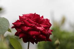 Rosa de Septiembre (Diego Cerezuela Bueno) Tags: canon de lluvia agua flor gotas fotos waterdrops beires 650d espaadiego cerezuelafotos 18135stm