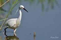 Garzetta (BFAsuper) Tags: bird nature birds animal animals nikon natura 300mm uccelli tc 17 nikkor egret f4 animali animale afs uccello eii garzetta d7100