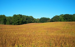 A Field of Golden Soybeans (bjebie) Tags: autumn trees ohio sky field farm grain harvest crop agriculture soybeans soybeanfield