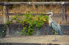 Fence Friday (JSB PHOTOGRAPHS) Tags: blue heron fence nikon stadium great nikkor friday greatblueheron d1 autzen hff autzenstadium 18300mm dsc1812 fencefriday happyfencefriday