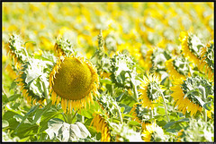 Contracorriente (JotaBe!) Tags: life autumn sunlight plant flower green nature yellow flora seeds sunflower nikond90 jotabe jblanco nikkorafsvrii70300mmf4556gifed