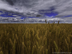 Those who rise above (Dave Arnold Photo) Tags: ranch sky usa cloud beautiful beauty rural canon wonderful landscape photography gold golden us photo washington photographer image farm wheat awesome arnold harvest scenic picture pic best wash crop pacificnorthwest wa 5d serene growing agriculture idyllic wheatland palouse raising wheatfield mkiii wheatcrop farmscape palousevalley bestcapturesaoi davearnoldphotocom mygearandme davernold