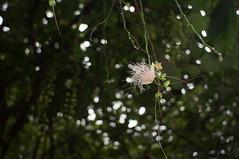 nEO_IMG_DSC09380 (Bryan Shan@) Tags: flower m42 fujinon ebc 2835 a55 fujiphotofilmcoebcfujinon135f28mm