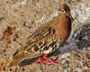 Galapagos Dove (Susan Roehl) Tags: ecuador ngc april common endemic galapagosdove specanimal blinkagain galapagos2013