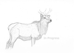 Elk - In progress (© S. D. 2010 Photography) Tags: art pencil sketch drawing progress deer elk graphite