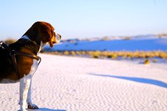 Beagle (STR4153H) Tags: beagle whitesands d2x