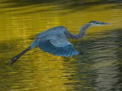 Great Blue Heron Coming In For A Landing (Bill Gracey) Tags: california bird heron nature flying lakeside landing greatblueheron bif birdinflight lindolake