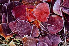 hojas (M.Gloria Garca) Tags: hojas otoo frio helada morado glido