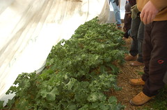 "Hoop House Interior w/ Kale <a style=""margin-left:10px; font-size:0.8em;"" href=""http://www.flickr.com/photos/91915217@N00/11283248904/"" target=""_blank"">@flickr</a>"