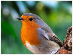 Robin portrait! (macfudge1UK) Tags: uk winter england bird nature robin fauna europe branch erithacusrubecula britain wildlife ngc gb perch oxfordshire avian oxon rspb perching naturesfinest coth britishbirds supershot 2013 ©allrightsreserved britishbird specanimal fantasticnature hs50 goldwildlife alittlebeauty coth5 blinkagain bbcwinterwatch rspblovesnature rspbgreenstatus fujihs50 fujihs50exr fujifilmfinepixhs50exr fujifilmhs50exr hs50exr