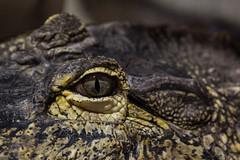Alligator eye (Jan Whybourne) Tags: eye animal intense skin reptile alligator