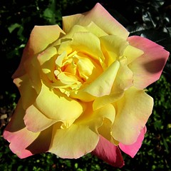 Rose - ורד (yoel_tw) Tags: flowers roses rose פרחים ורד ורדים a3300 a3300is powershota3300is canonpowershota3300