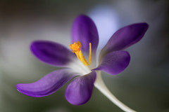 Crocus (Mandy Disher) Tags: flower yellow spring purple crocus saffron