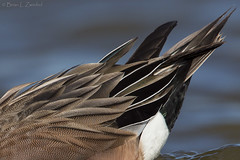 American Wigeon Drake Feather Detail BE1U6339 Maryland Feb 2014 (www.sabrewingtours.com) Tags: water duck brian birding american drake waterfowl widgeon zwiebel wigeon snt sabrewing naturetours phototours birdingtours balpate sabrewingnaturetours brianzwiebel