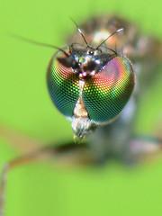 slankpootvliegje ogen/Dolichopodidae (stormchaseroosteeklo) Tags: macro photography fly eyes nikon long tiny iridescent ogen longleggedfly legged fluo dolichopodid dolichopodidae macrofotografie fluoriserende iriserend d3100 slankpootvlieg slankpootvliegje