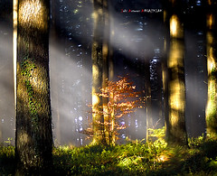 Haya pequea entre abetos gigantes (Jabi Artaraz) Tags: light luz nature sony natura zb haya maravilla abetos euskoflickr superaplus aplusphoto jartaraz blinkagain