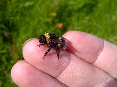White tailed Bumble bee (Bombus lucorum)