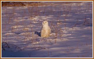 { Snowy Owl Sunset }