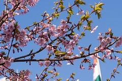 Japnese white-eye #9 (Yorkey&Rin) Tags: bird japan tokyo march spring bluesky olympus cherryblossom  japanesewhiteeye rin kudanshita 2014    em5  kawaduzakura  olympusm60mmf28macro p3160036