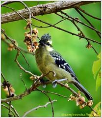 Yellow Cheeked Tit (sanjeevdhar) Tags: india birds ooty birdsindia indiaindian birdsofsouthindia nilgiribirds birdsendemictonilgiris birdsendemic