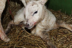 Oh my Baby   Explore # 160 ( 22-4-2014 Thanks !!! (excellentzebu1050) Tags: closeup farm newborn lamb lambs newlife animails lambbirth april2014tripletsbirth