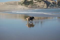 DOGS AUTZEN HONEY JULY (5) (coopersdogpatch) Tags: beach dogs honey autzen