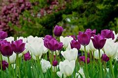 Purple and White - Cantigny - Wheaton IL (Meridith112) Tags: white illinois nikon purple tulips il tulip purpleflower wheaton tulipa mccormick cantigny whiteflowers purpletulips dupagecounty nikon2485 cantignygardens colonelrobertrmccormick nikond7000 amyirwinmccormick mccormicksmansion mccormickshome mccormickscantignyhome