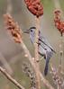 _53F7883 Gray Catbird (~ Michaela Sagatova ~) Tags: graycatbird dumetellacarolinensis dvca michaelafotheringham michaelasagatova
