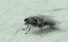 xenofly 2 (Jnipco) Tags: macro insect fly alien xeno xenomorph biomechanicalfly cyborgfly