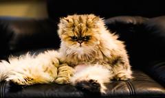 His Royal Highness (VagabondSung) Tags: cats pets cute fur furry feline kitties pussycat persiancats dapper catposing domesticatedpets animalsposing