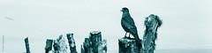 Bird (*paz) Tags: chile blue summer bird blancoynegro nature animal rural blackwhite bn ave pajaro nocolor ixregion malalhue