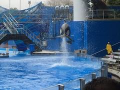 Katina (b_g_19) Tags: show orlando dolphin sw orca seaworld shamu swf showpool oneocean