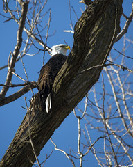 Bald Eagle in Tree (AmyBaker0902) Tags: river mississippi claire eagle lock dam 14 bald iowa le