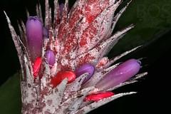 Aechmea dealbata (Pterodactylus69) Tags: flower fleur flor hannover bromeliad bromeliaceae hanover botanicgarden blte botanischergarten herrenhusergrten herrenhausen monocot berggarten bromelie herrenhausengardens