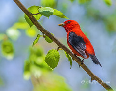 Piranga carlate -  Scarlet Tanager (MichelGurin) Tags: ca  canada nature animal exterior qubec extrieur qc scarlettanager 2016 pirangaolivacea chteauguay pirangacarlate michelgurin llesaintbernard tousdroitsrservsallrightsreserved nikond750 lightoomcc nikon200500mm lerefugefauniquemargueritedyouville