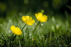 Trio en or (Bertrand Thifaine) Tags: fleur bokeh lumire jardin trio herbe boutondor gazon