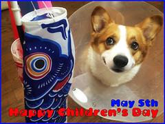 Happy Children's Day (luckyno3) Tags: dog animal pembrokewelshcorgi