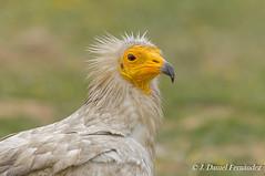 El guapo (Dani (Atrus)) Tags: espaa naturaleza birds fauna spain aves egyptianvulture alimoche neophronpernopterus jdanielfernndez elrincndelosprotegidos