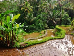 bananas, coconuts and rice (SM Tham) Tags: bali water palms indonesia landscape outdoors island asia mud terraces valley hillside paddyfields riceterraces plantains coconuttrees contours bananatrees tegalalang