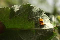 ladybug larvae (danna  curious tangles) Tags: ladybird ladybug larvae larva