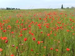 Coquelicots dans les prs (Daniel Biays) Tags: flowers fleurs landscape paysage saintestphe coquelicots mdoc