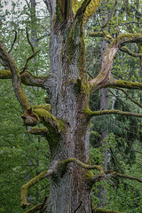 old man (bohnengarten) Tags: park old tree eos nationalpark alt poland polen bialowieza baum knorrig narodowy 70d bialowieski