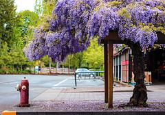 Wisteria (N Medd) Tags: street morning flowers flower tree green hydrant spring purple victoria bloom wisteria blosson