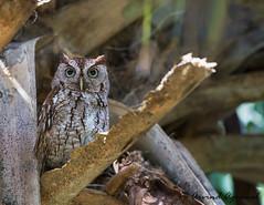 Eastern Screech Owl - IMG_5471 (arvind agrawal) Tags: tree bird wildlife palm owl fl boyntonbeach easternscreechowl screechowl greencaywetlands canon1dx canon100400||