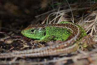 male sand lizard, Lacerta agilis