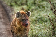 A Hyena after a successful morning hunt (sally-stevens) Tags: nature wildlife hunting hyena lakenakuru africanwildlife africananimals naturephoto canonphotography successfulhunt