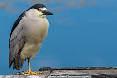 A Mellow Fellow, Black Crowned Night Heron (MelRoseJ) Tags: california nature birds northerncalifornia unitedstates sony alpha sanrafael autofocus lasgallinas sonyalpha sal70400g a77ii sonyilca77m2