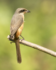 Long-tailed Shrike (Rez Mole) Tags: shrike longtailed laniusschach