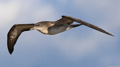 Wedge-tailed Shearwater (s_uddin59) Tags: hawaii oahu kaenapoint wedgetailedshearwater