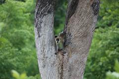 Green Monkey 1 (cj_hunter) Tags: africa game tree green animal animals night dark monkey african wildlife tail safari ghana greenmonkey nightsafari